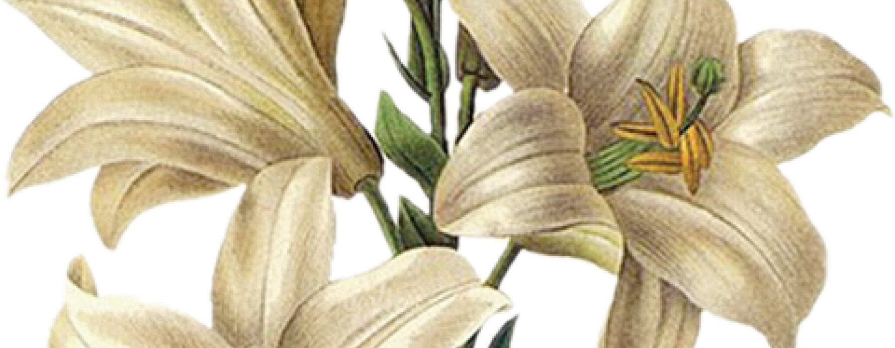 Easter Lilies Bloom In Catholic History Tradition Today S Catholic