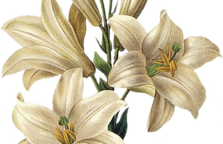 Easter lilies bloom in Catholic history, tradition